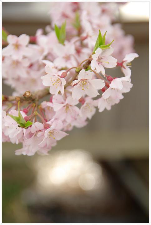 2016年4月5日 清水の桜