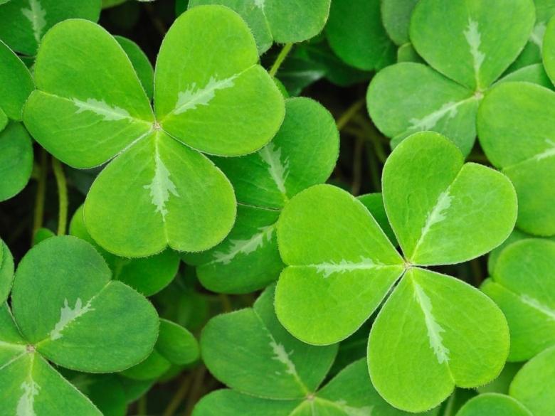gty_three_leaf_clovers_tl_15-317_4x3_992.jpg