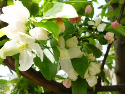 160412実の花