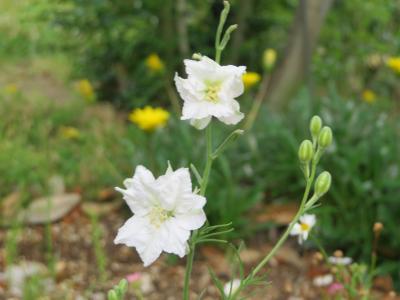 160606こぼれ種花