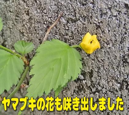 ヤマブキの花も
