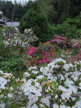 2016_05 25_2016、サツキの庭・2