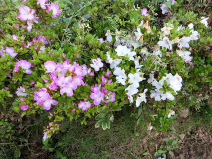 2016_05 20_2016、サツキの庭・3