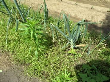 2016_05 18_タマネギ収穫まで・1