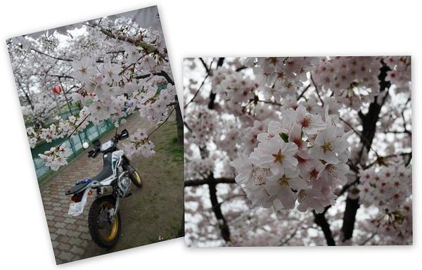 sakurasaku1604-007b.jpg