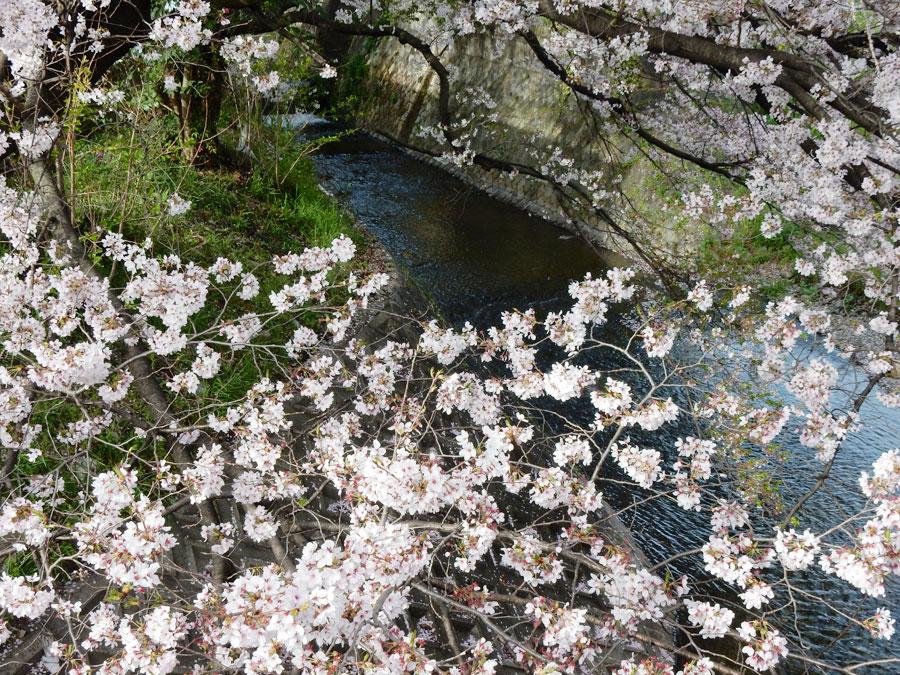 桜 東野2
