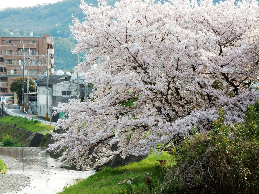 桜 東野1