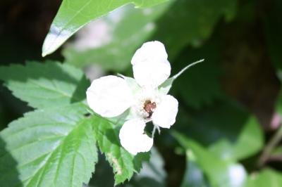 バライチゴ花