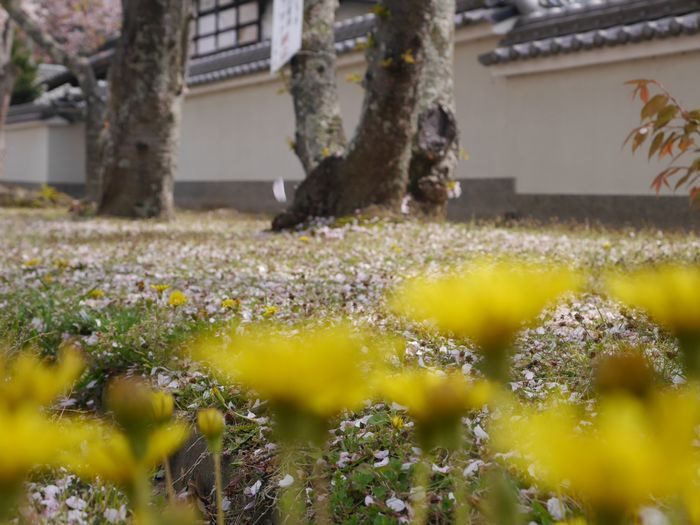 4月9日 桜、お好み焼き  (10)