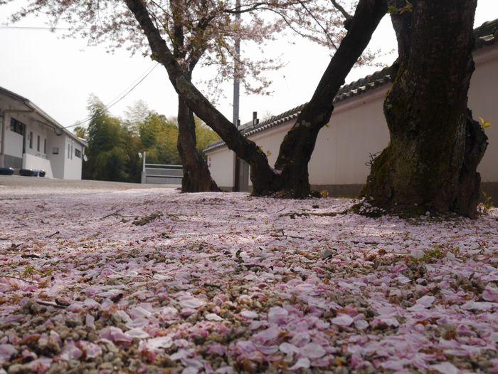 4月9日 桜、お好み焼き  (8)