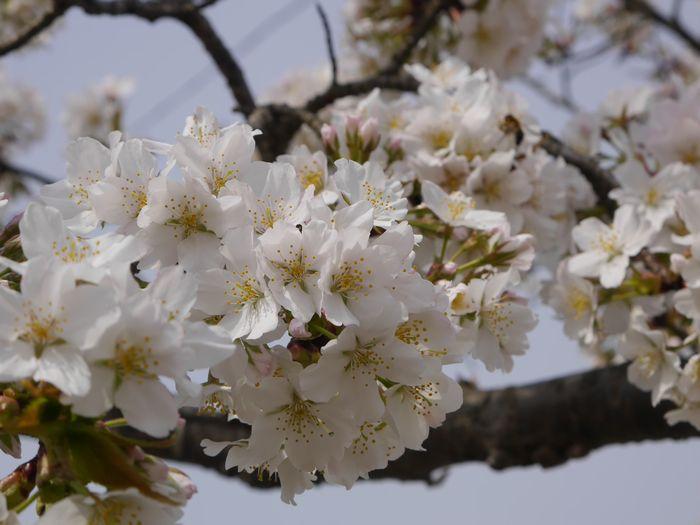 4月9日 桜、お好み焼き  (9)