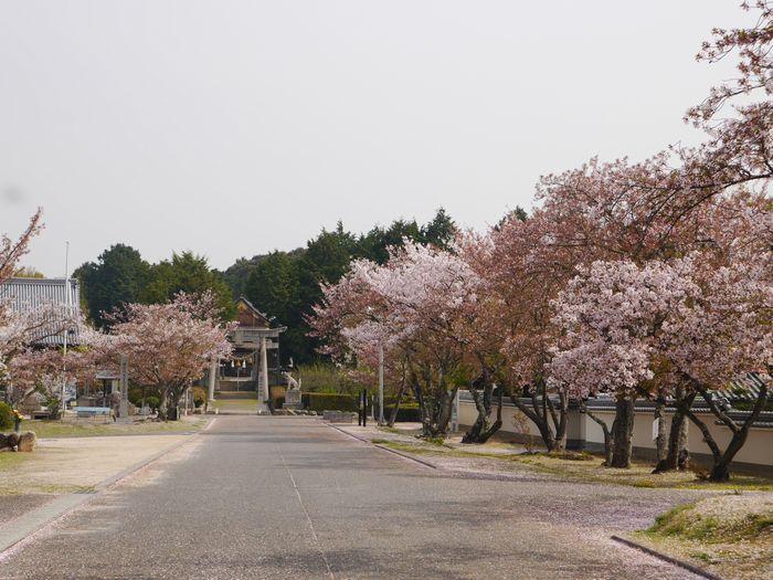 4月9日 桜、お好み焼き  (12)