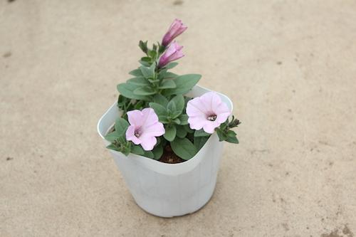 ペチュニア 妖精のチュチュ ピンク オリジナル品種 育種 生産 販売 松原園芸