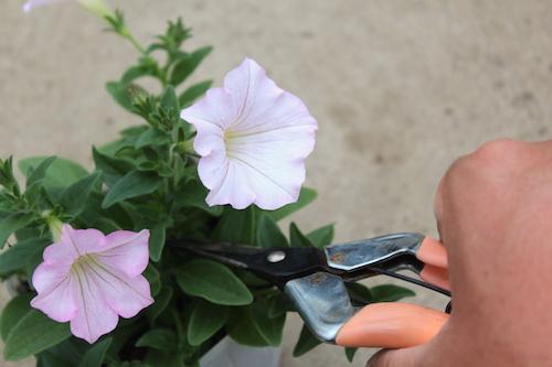 妖精のチュチュ ペチュニア 摘芯の方法 オリジナル品種 育種 生産 販売 松原園芸