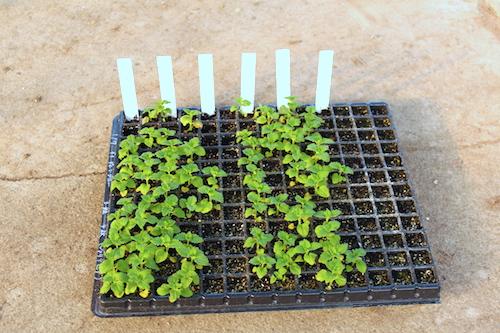 ネメシア 交配系統 オリジナル品種 育種 生産 販売 松原園芸