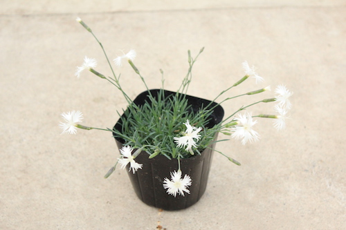 ダイアンサス リトルメイデン(Dianthus arenarius f nanus Little Maiden) 生産 販売 松原園芸