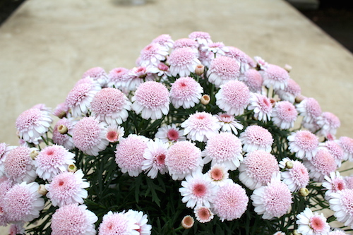 マーガレット ぽぽたん 育種 生産 販売 松原園芸 オリジナル品種