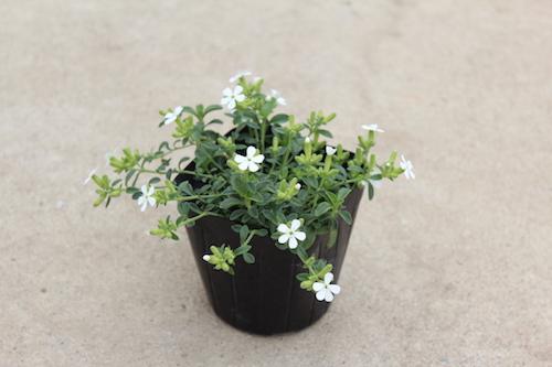 サポナリア オキモイデス(ナデシコ科 学名:Saponaria ocymoides) 白花品種「スノーチップ」 生産 販売 松原園芸