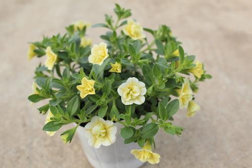 カリブラコア 八重咲き クリームイエロー 育種 生産 販売 松原園芸 オリジナル品種