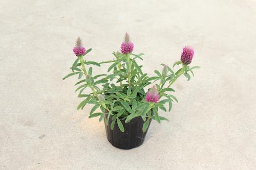 トリフォリウム ルベンス(マメ科 Trifolium rubens) 生産 販売 松原園芸