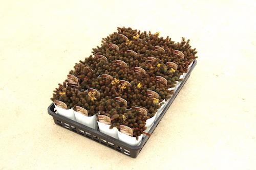 セダム チョコレートボール 生産 販売 松原園芸
