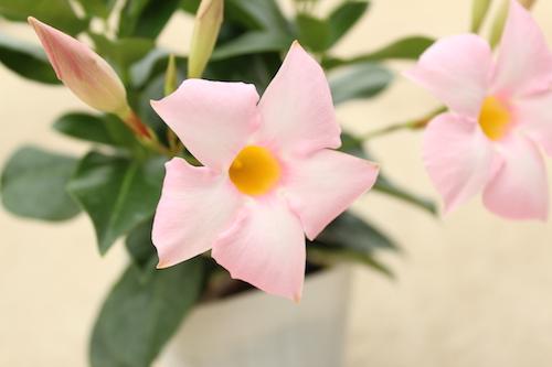 マンデビラ サマーティエラ ライトピンク  新品種  育種  品種改良 生産 松原園芸