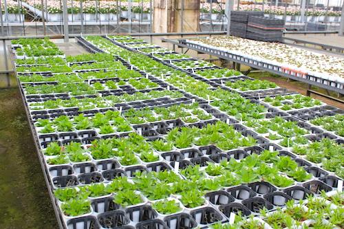 ペチュニア 交配系統 オリジナル品種 育種 生産 販売 松原園芸