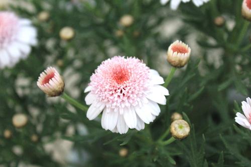マーガレット ぽぽたん ピンクブーケ 育種 生産 販売 松原園芸 オリジナル品種