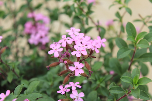 サポナリア オキモイデス(ナデシコ科 学名:Saponaria ocymoides) 生産 販売 松原園芸