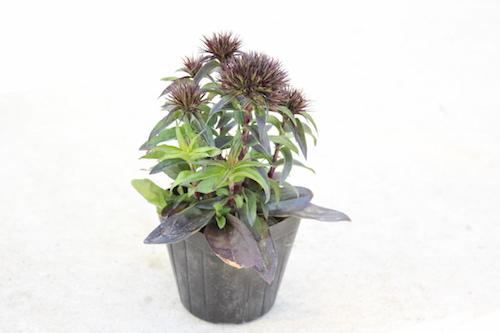 Dianthus barbatus var. nigrescens 'Sooty' ダイアンサス  スーティーブラック 黒花ビジョナデシコ ヒゲナデシコ   育種 生産 販売 松原園芸