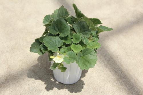 アサリナ プロクンベンス(Asarina procumbens) 生産 販売 松原園芸