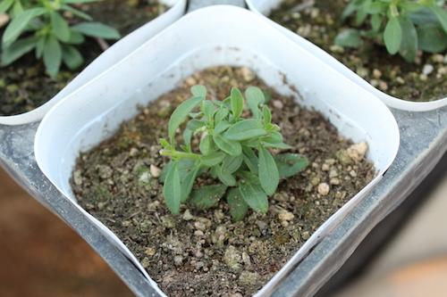 カリブラコア ティエルノ 育種 生産 販売 松原園芸 オリジナル品種