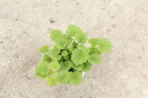 アサリナ プロクンベンス(Asarina procumbens) ライムグリーン 育種 オリジナル品種 生産 販売 松原園芸