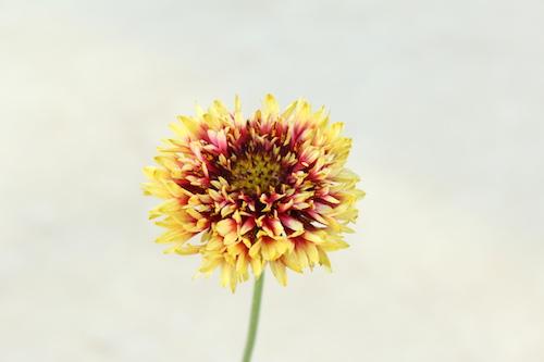 ガイラルディア Gaillardia 育種  品種改良 生産 松原園芸