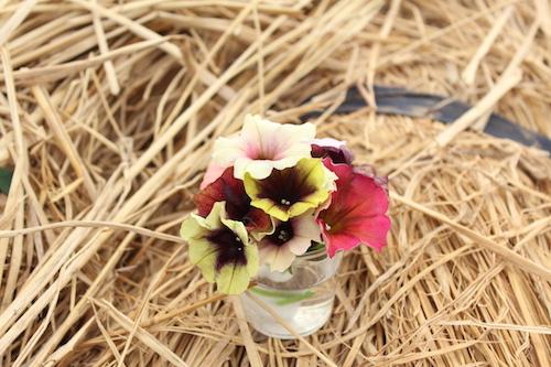 ペチュニア 新品種  育種  品種改良 生産 松原園芸
