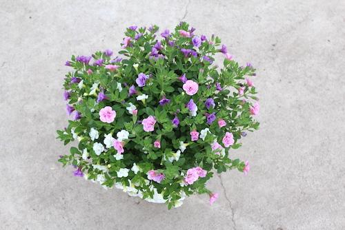 カリブラコア 八重咲き  ティエルノ 育種 生産 販売 松原園芸 オリジナル品種