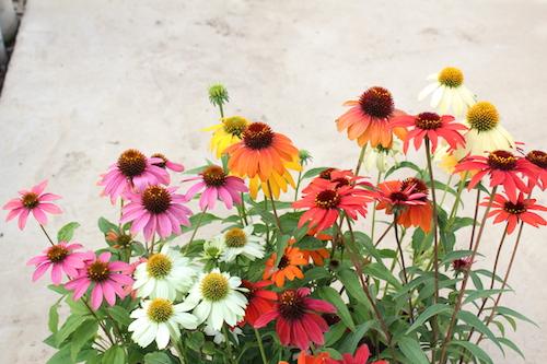 エキナセア  新品種  育種  品種改良 生産 松原園芸