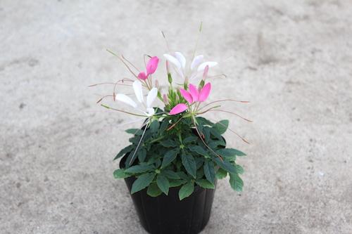 クレオメ 育種  品種改良 生産 松原園芸