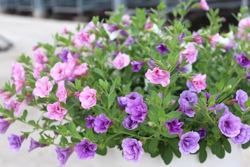 カリブラコア『ティエルノ』シリーズの八重咲き3色ミックス  生産 販売 松原園芸