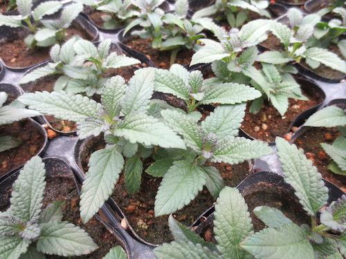 サルビア ウリギノーサ(Salvia uliginosa)ボックセージ(bog sage)  生産 販売 松原園芸