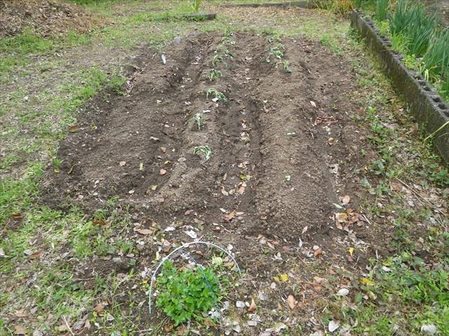 安納芋を植えました