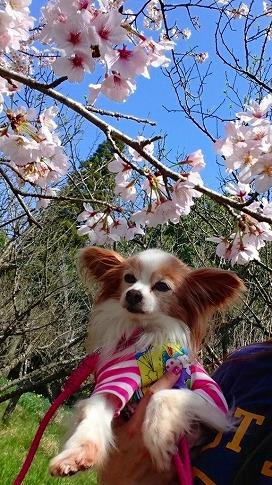 メルティと桜♡