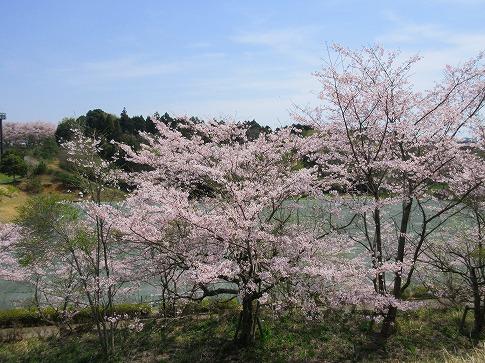 桜満開~ 16.4.8
