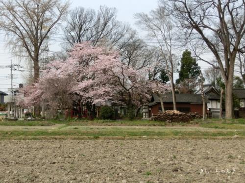 枝垂桜二種・2016_02