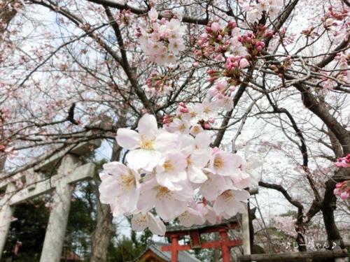 枝垂桜二種・2016_01