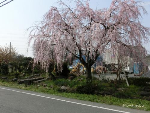 枝垂桜二種・2016_03
