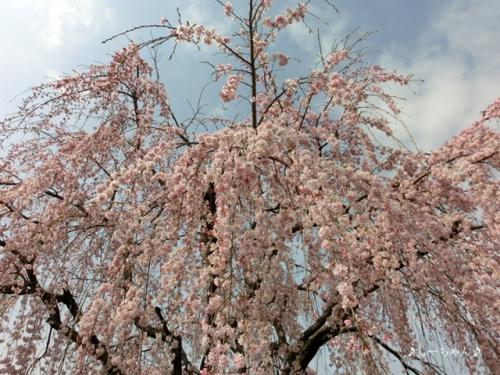 枝垂桜二種・2016_04