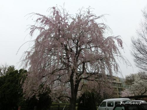 枝垂桜二種・2016_05