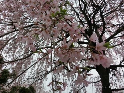 枝垂桜二種・2016_06