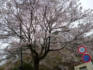 1桜20160404